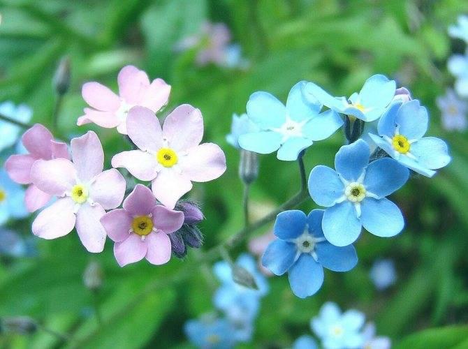 Незабудка: какими лечебными свойствами обладают цветы