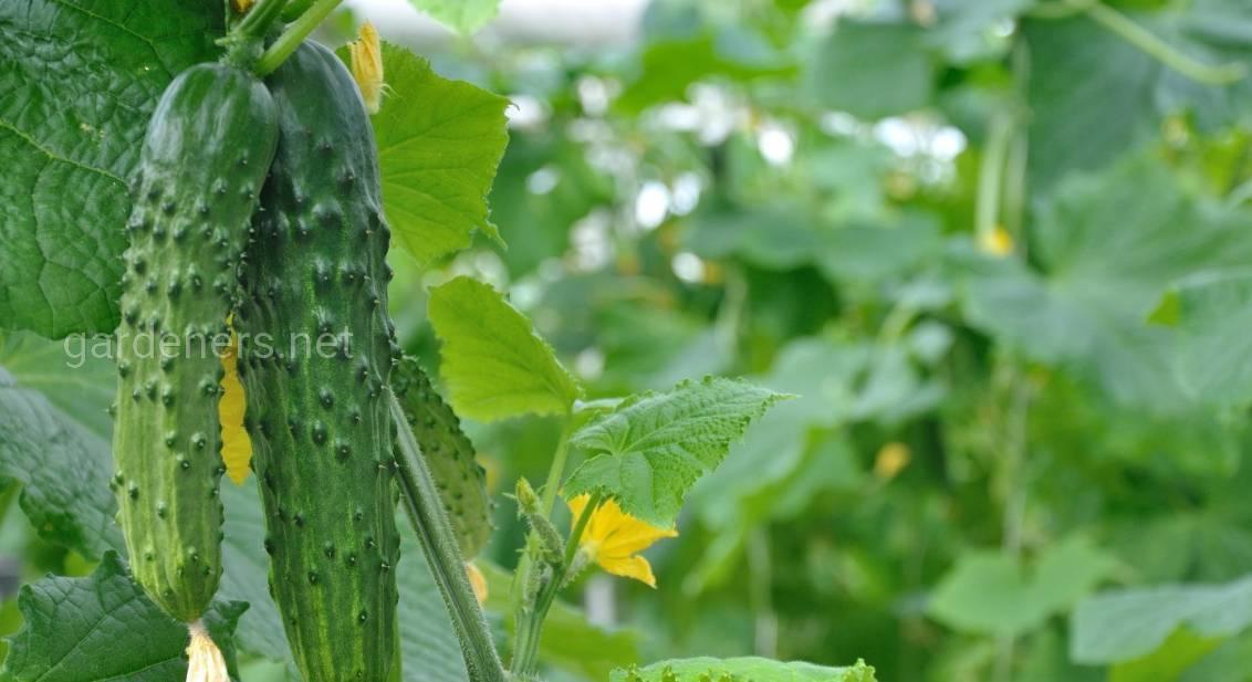 10 лучших сортов пучковых огурцов. лучшие сорта пучковых огурцов для открытого грунта и теплиц, и их выращивание