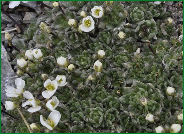 Арабис: посадка и уход, фото, размножение сорта, выращивание в открытом грунте и сочетание в ландшафтном дизайне