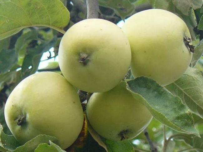 Подробное описание сорта яблок белый налив