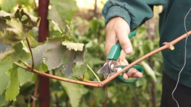 Как сохранить черенки винограда до весны - заготовка и хранение черенков