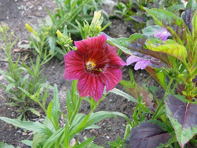 Сальпиглоссис: выращивание из семян, когда сажать на рассаду и как выращивать цветок