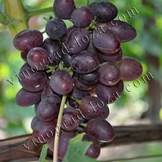 Топ-10 лучших сортов винограда – рейтинг 2020 года