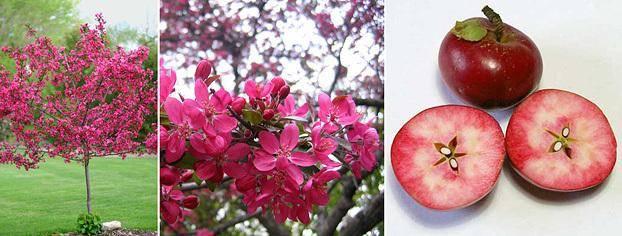 Декоративная яблоня маковецкого