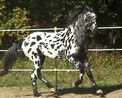 Лошадь породы аппалуза.описание и фото породы