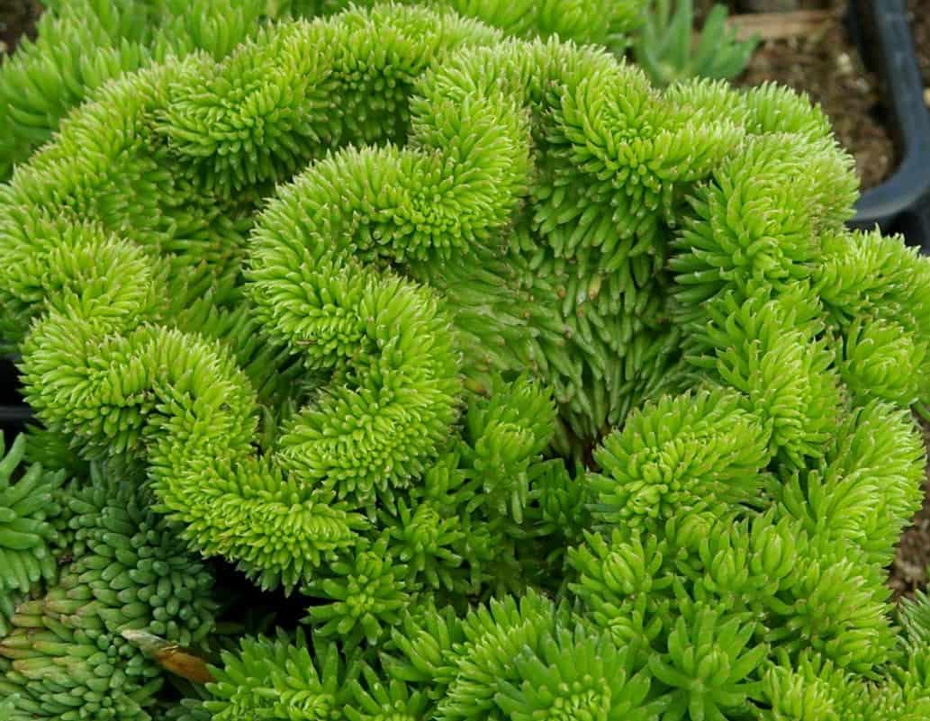 Очиток видный – неприхотливый суккулент для цветников средней полосы