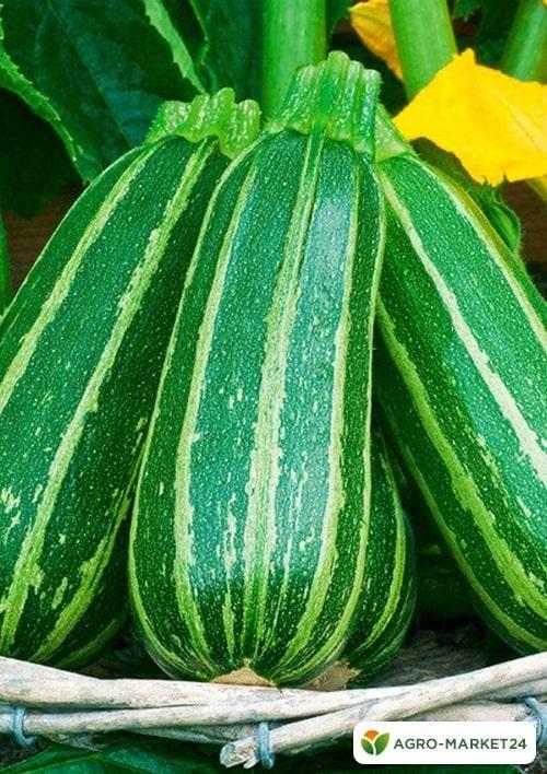 Лучшие сорта кабачков для открытого грунта и тепличного выращивания