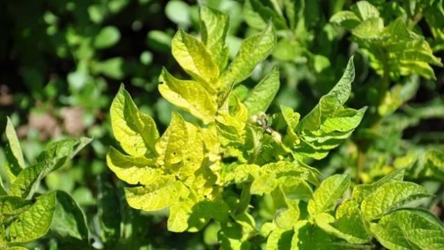 Почему желтеют листья у помидор в теплице и как с этим бороться?