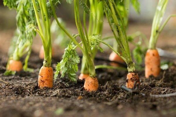 Как обработать морковь керосином от сорняков - da4nikpro