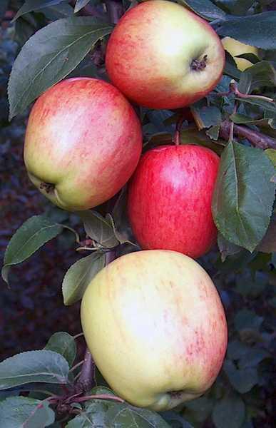 """Яблоня """"аркадик"""": описание сорта, фото, отзывы"""