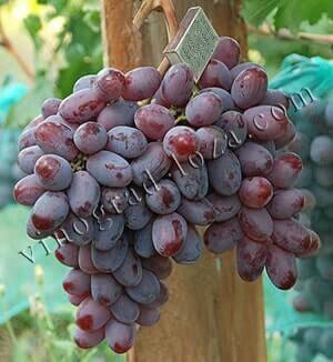 Виноград «гала» — подробная характеристика сорта