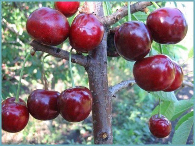 Черешня «крупноплодная»