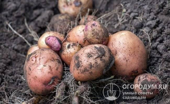 Картошка бела роса описание сорта