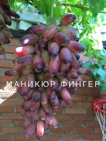 Виноград голд фингер: описание сорта, фото, урожайность, отзывы