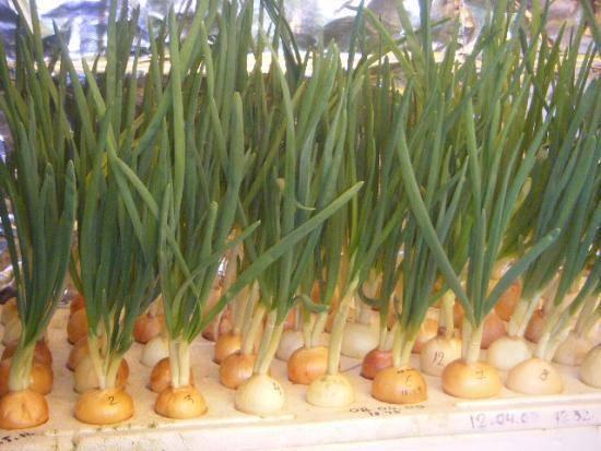 Выгонка лука на перо в теплице и в домашних условиях, выращивание на зелень, фото