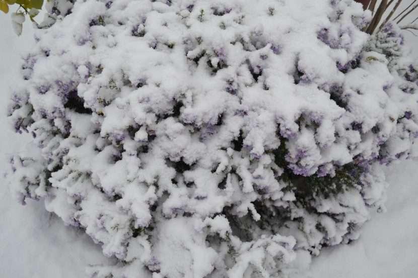 Подготовка клематисов к зиме: укрытие, обрезка, подкормка