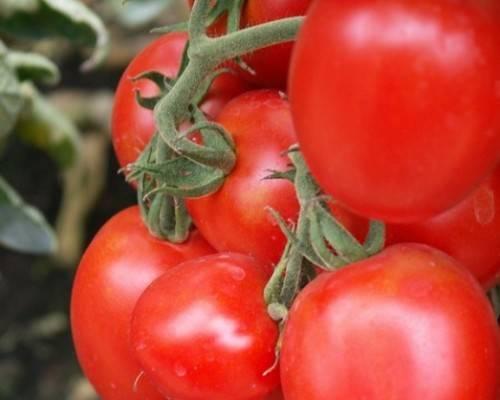Томат перфектпил f1: характеристика и описание сорта, фото, отзывы, урожайность