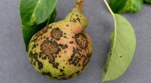 Боремся с паршой на яблоне правильно – профилактика и меры борьбы