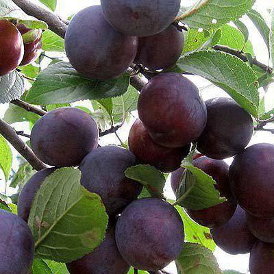 Этот сорт любит воду и тепло, дарит богатые урожаи — слива «стартовая»