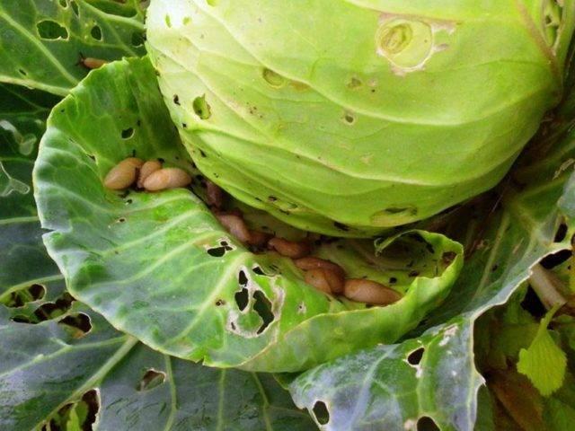 Как защитить капусту от слизней и улиток народными средствами?
