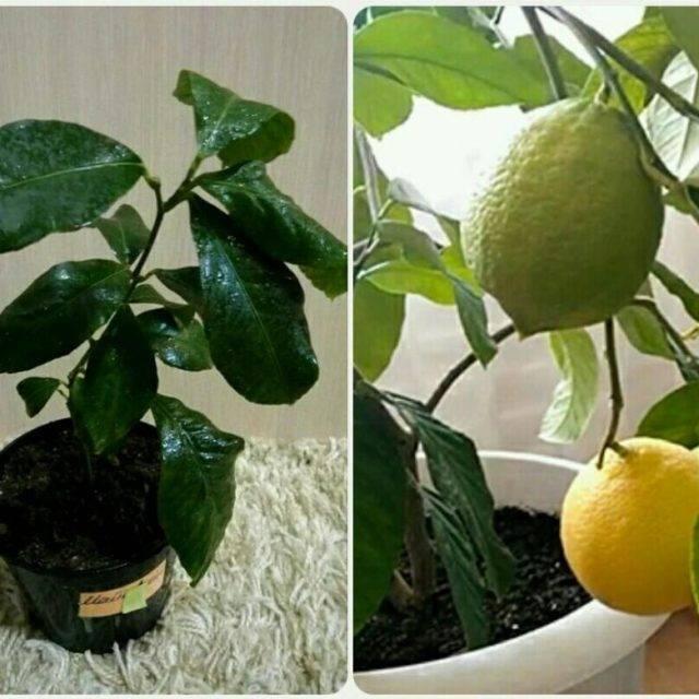 Размножение и вырастить лимон черенками в домашних условиях размножение и вырастить лимон черенками в домашних условиях