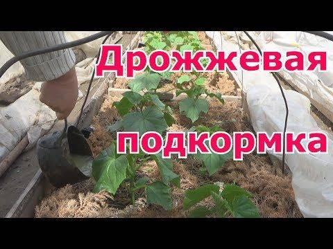 Дрожжевая подкормка для рассады и растений — рецепты приготовления