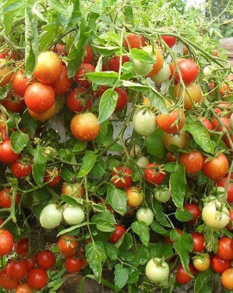 Томат ляна - описание сорта, урожайность, фото и видео о сорте