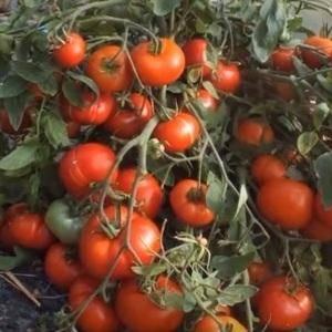 Обзор сорта томата монгольский карлик: внешний вид, характеристики, урожайность, плюсы и минусы, выращивание рассады и особенности ухода