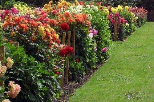 Низкорослые георгины: популярные сорта и особенности агротехники