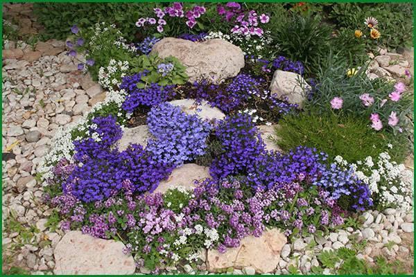 Лобелия: посадка и уход, фото в открытом грунте, выращивание и размножение сорта, сочетание в ландшафтном дизайне