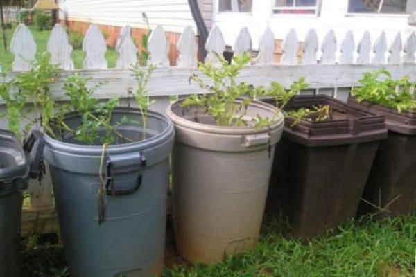 Выращивание картофеля в бочке ‒ подробная инструкция