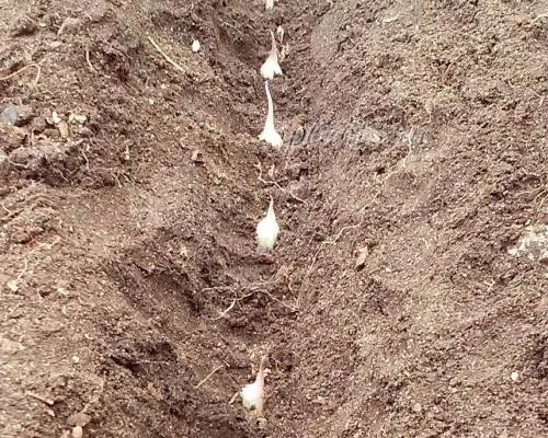 Озимый чеснок: посадка осенью под зиму, выращивание и уход в открытом грунте, как правильно сажать