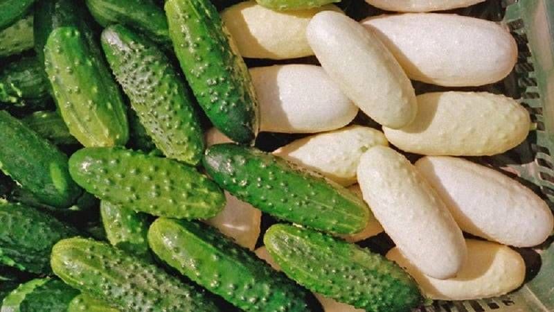Белые огурцы: особенности и отличия от зеленых, нюансы выращивания и применения, популярные сорта и отзывы