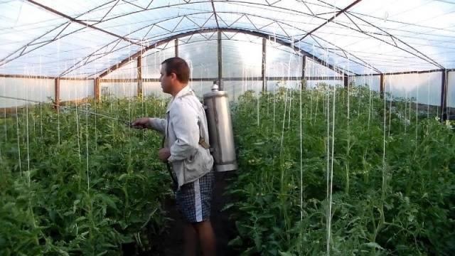 Препараты для томатов - завязь, тур и другие: их применение от вредителей, вытягивания рассады и для опыления помидоров в теплице, а также последствия передозировки русский фермер