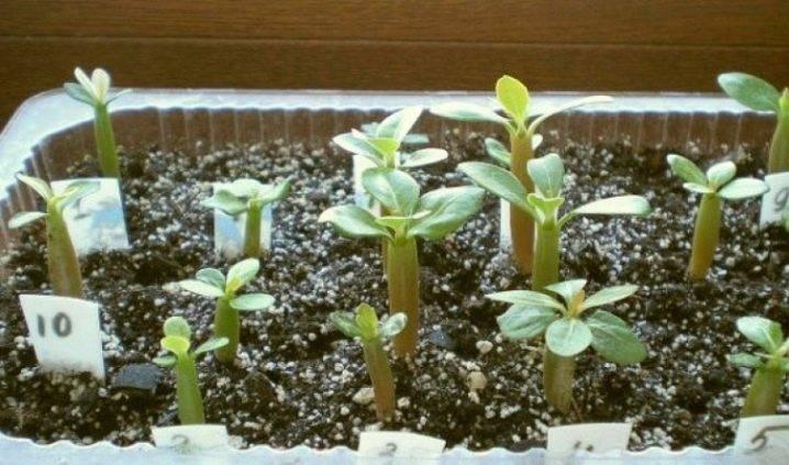 Выращивание адениума из семян в домашних условиях, адениум из семян