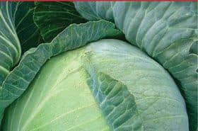 Щедро отдающая урожаи вкусных и товарных плодов — капуста трансфер f1: отзывы и описание сорта