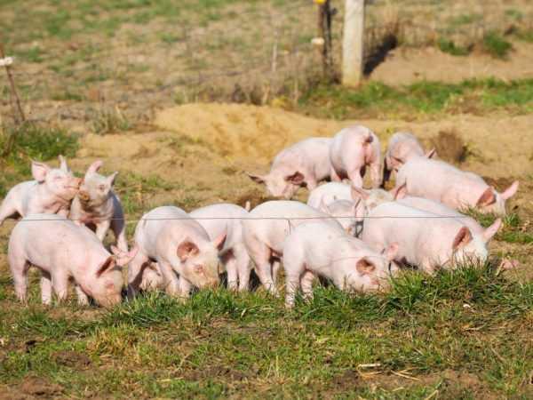 Выращивание разных пород свиней на мясо