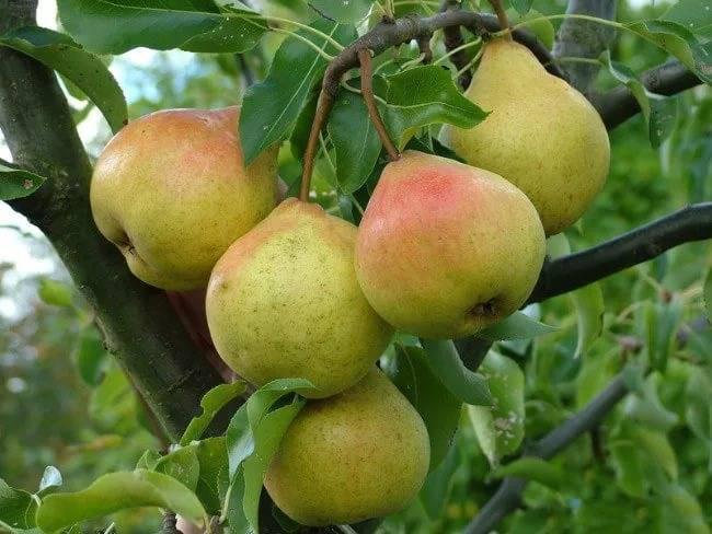 Груша память жегалова: описание всех особенностей сорта и фото плодов selo.guru — интернет портал о сельском хозяйстве