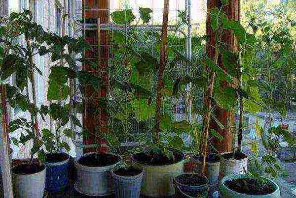 Огурцы зимой на подоконнике. лучшие сорта огурцов для выращивания зимой на подоконнике. | красивый дом и сад