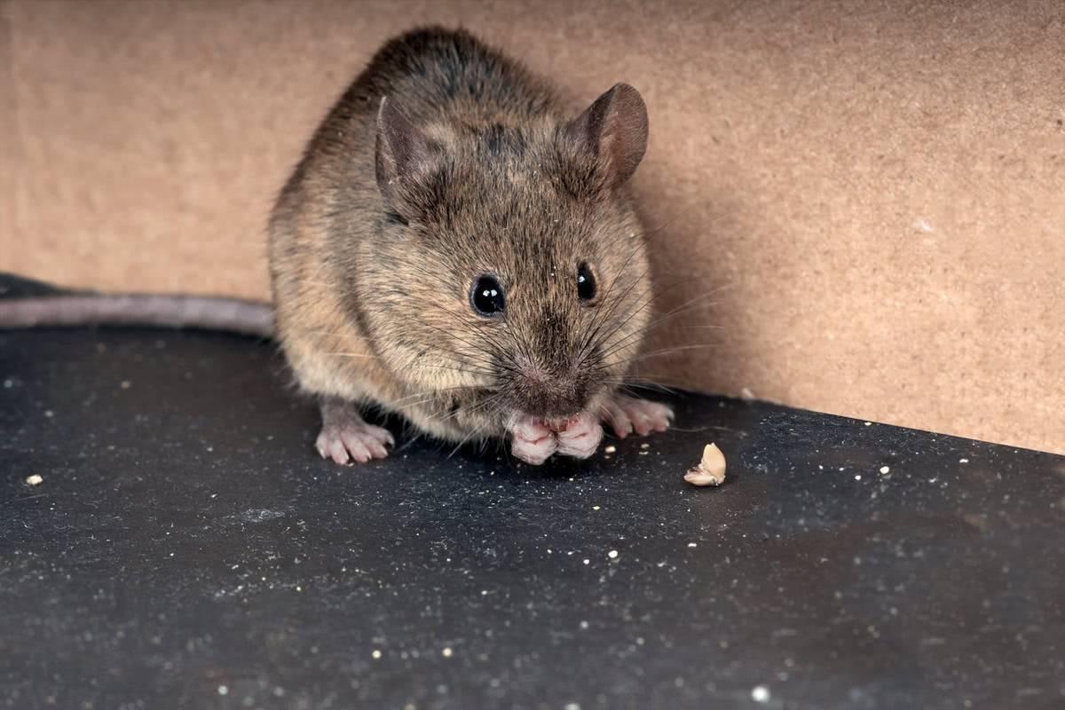 Как избавиться от мышей на даче навсегда, различные способы