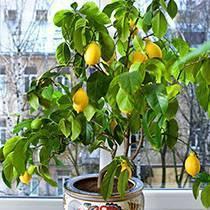 Как правильно пересадить лимон в домашних условиях в новый горшок?