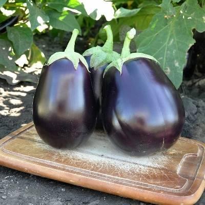 Балагур баклажан: описание, выращивание, уход, фото