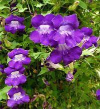 Оригинальные многолетние вьющиеся растения для украшения сада или дачи