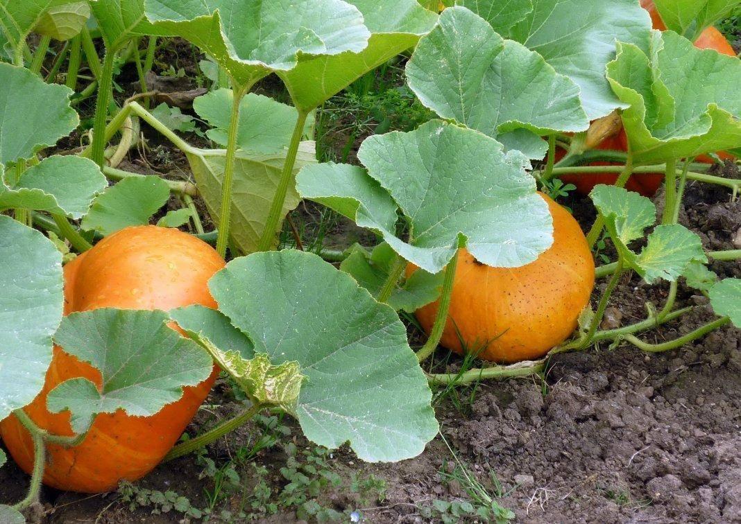 Чем подкормить тыкву во время цветения и плодоношения