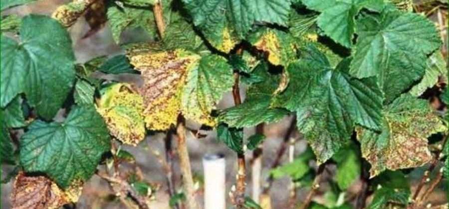 Обработка смородины осенью: тонкости, технология