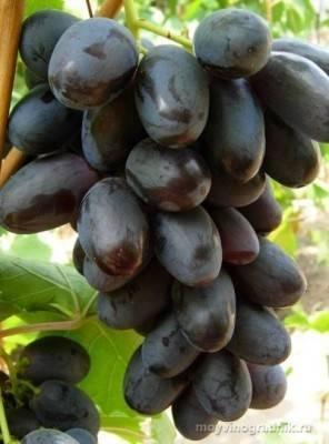 Виноград велика: описание и характеристики сорта + фото и видео