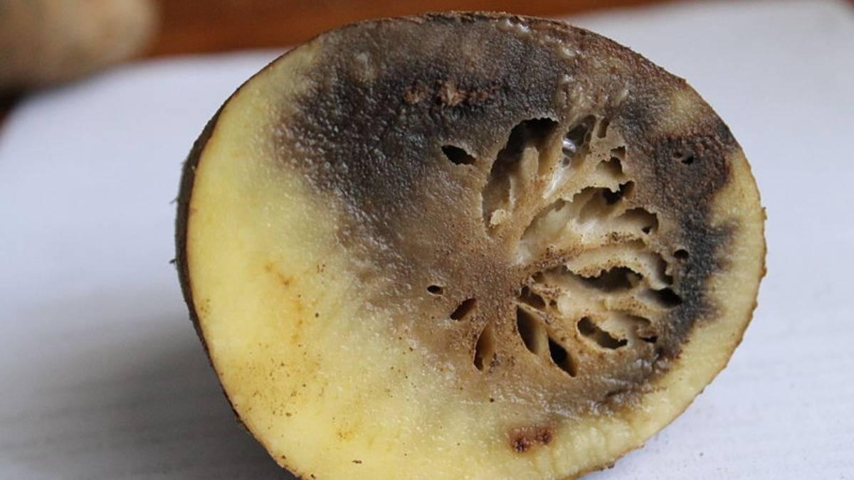 Кольцевая гниль картофеля: как защитить клубни