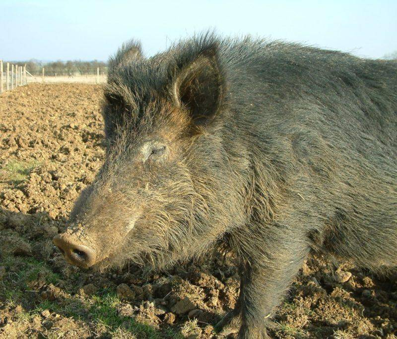 Порода свиней оптимус - описание, характеристика, фото | россельхоз.рф