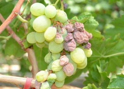 Чем обработать виноград весной после открытия от болезней и вредителей, выбор средства и правила проведения весенней обработки