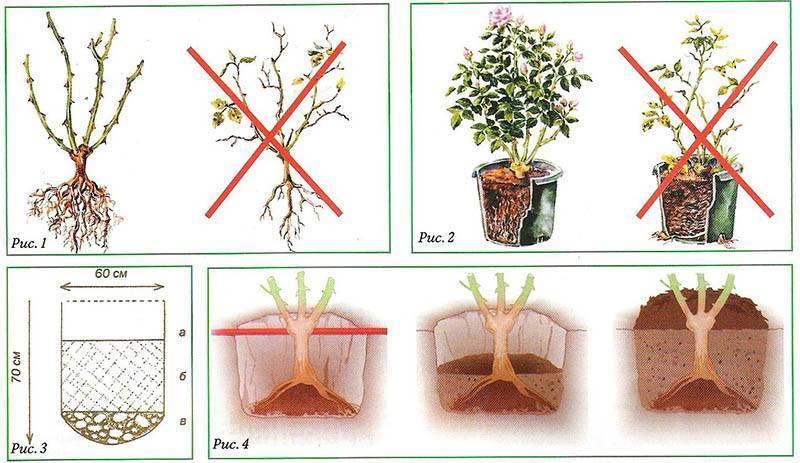 Обрезка кустовых роз на зиму: правила процедуры осенью